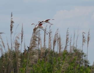 Flamands rose en vol by Fairling