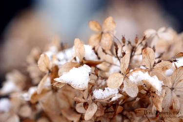 Little snowflakes on dead flowers by xILOONA