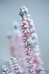 Frozen heather by xILOONA