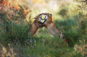 Fighting Foxes by JulianRad