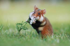 European Hamster by JulianRad
