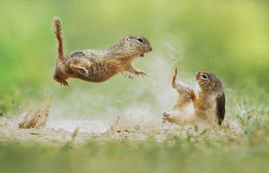 Squirrel Fight by JulianRad