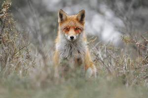 Red Fox by JulianRad