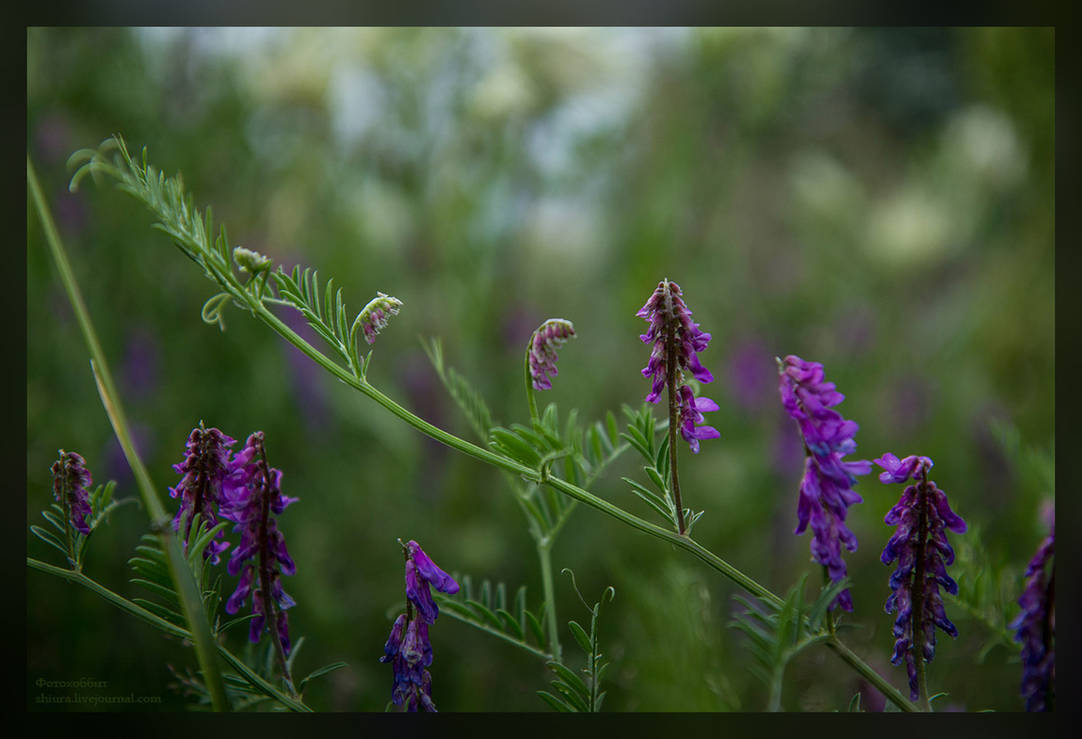 Vicia cracca by gorlitsa