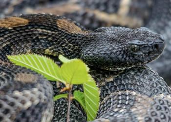 Black-phase Timber Rattlesnake by kyleshikes