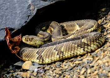 Autumn Rattlesnake by kyleshikes