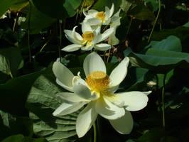 Lotus Flowers by redmatilda
