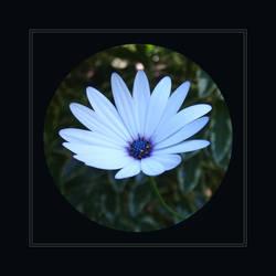 Daisy by redmatilda