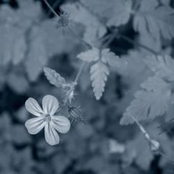 Wild Geranium by redmatilda