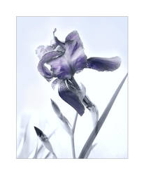 Winter Iris by redmatilda