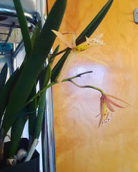 My Orchid by nelehjr