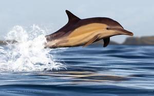 Delphinus  by Bandarai
