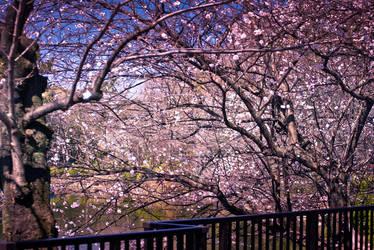 Sakura Cherry Blossoms by unifx