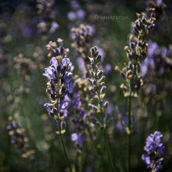 Lavender by tango-shoes