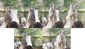 Meerkats by Ishkie