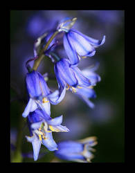 Bluebells by danUK86