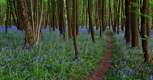 Bluebell Path by danUK86