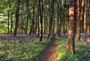 Bluebell Walk II by danUK86