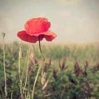 poppy 01 by justerZ