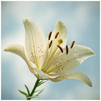 white lily by justerZ