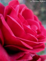 Pink rose 3. by xxChocolateMuffinxx