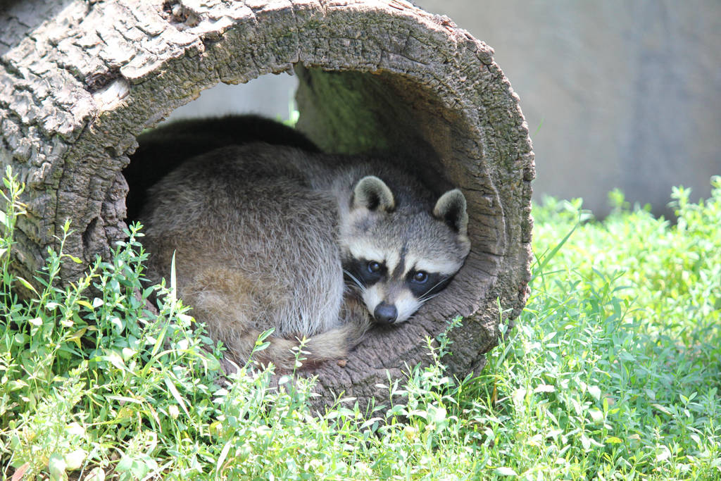 Racoon by RayRay510