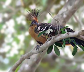 Hoatzin - a weird bird by mhummelt