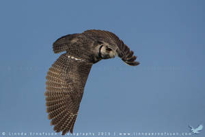 Gizmo the White-faced Owl by linneaphoto