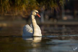 Mute Swan by linneaphoto
