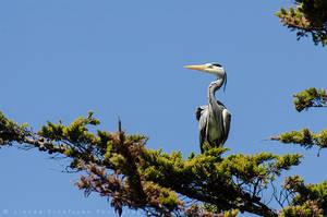 Grey Heron by linneaphoto