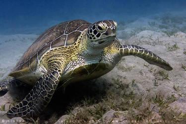 Green Turtle by linneaphoto