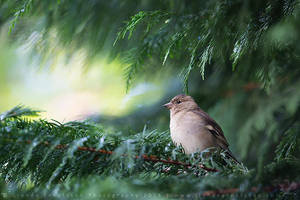Female Chaffinch by linneaphoto