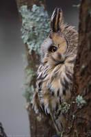 Long-eared Owl by linneaphoto