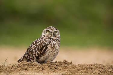 Burrowing Owl by linneaphoto