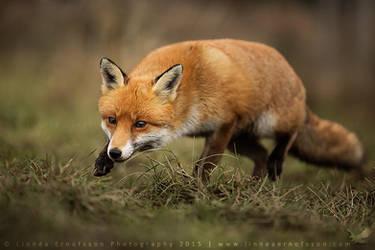 Sneaky Fox by linneaphoto