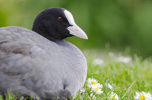 Coot by linneaphoto