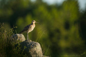 Curlew by linneaphoto