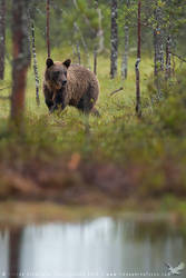 Brown Bear by linneaphoto