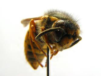 Vespula germanica by pyonpyon