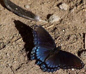 Red Spotted Purple by erimenthaofnyx