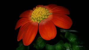 Orange flower....... by gintautegitte69