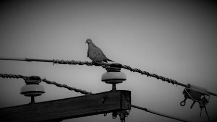 Dove.......w.b. by gintautegitte69