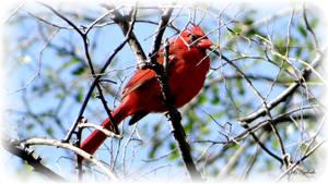 Backyard bird...... by gintautegitte69