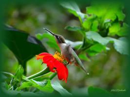 Hummingbird........ by gintautegitte69