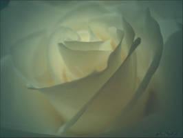 White rose......2 by gintautegitte69