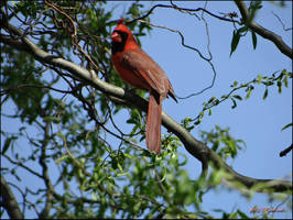 Cardinal. ..Spring.. by gintautegitte69