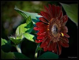 Red sunflower.... by gintautegitte69