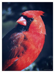 Cardinal... by gintautegitte69