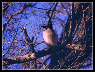Blue Jay......3 by gintautegitte69