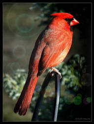 Cardinal..... by gintautegitte69